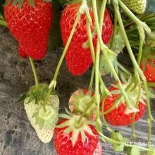 北京蒙特瑞草莓苗销售途径图片