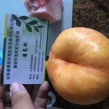 廣元市金陵黃露黃桃苗供應圖片