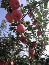 维纳斯苹果苗烟富八号苹果树苗多少钱