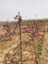 黄金苹果苗中秋王苹果树苗好吃品种