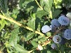 自家種植兔眼藍莓苗藍莓苗詳細修剪技術興安盟