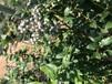 自家種植5年藍莓苗藍莓小苗樹形整理方法烏蘭察布