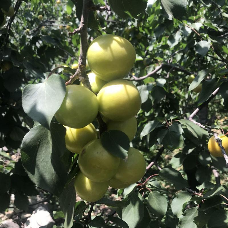 2公分杏樹苗可以種植 雞西凱特杏苗