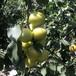 大白杏樹苗2年內蒙古香蜜杏苗