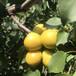 3年杏树苗微量元素的使用南平大棚王杏苗
