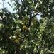2公分杏樹苗信息共享杭州吊干杏樹苗