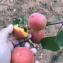 荷兰香蜜杏树苗价格梧州新世纪杏树苗图片