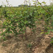 新世纪杏树苗农药使用比例三明5公分杏树苗