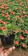 草花系列宿根花卉波斯菊時令花卉波斯菊草花波斯菊波斯菊價格