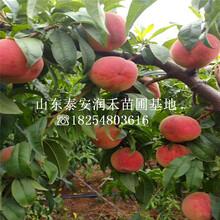 油蟠13桃苗新品種基地、油蟠13桃苗本月報價圖片
