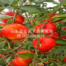 油蟠6-6桃苗栽培技術、油蟠6-6桃苗報價圖片