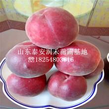 早熟黃肉油桃樹苗成熟時間、早熟黃肉油桃樹苗2019年新價格圖片