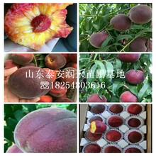 黃金蜜0號桃苗銷售價格、黃金蜜0號桃苗種植前景圖片
