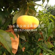 油蟠36-5桃苗新品種、油蟠36-5桃苗種植資料圖片