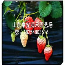 脱毒章姬草莓苗品种简介、脱毒章姬草莓苗产地价格图片