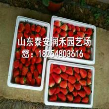 2代草莓苗哪里有出售的、2代草莓苗报价详情图片