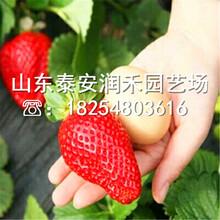 大棚草莓苗供应价格、大棚草莓苗本周价格图片