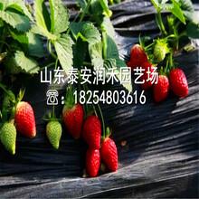 美十三草莓苗2019年新报价、美十三草莓苗种植管理图片