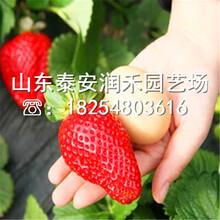 小白草莓苗基地、小白草莓苗嫁接苗价格图片