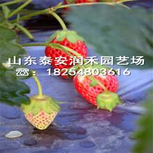 全明星草莓苗种植资料、全明星草莓苗联系电话图片