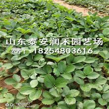 安娜草莓苗今年价格、安娜草莓苗报价图片