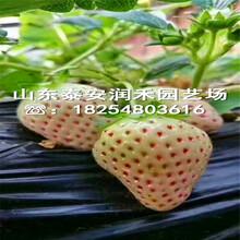 佐贺清香草莓苗报价多少钱一株、佐贺清香草莓苗种苗批发图片
