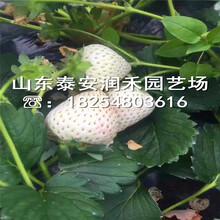 雪里香草莓苗产地报价、雪里香草莓苗销售商图片
