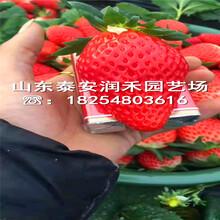 小白草莓苗基地、小白草莓苗种植管理图片