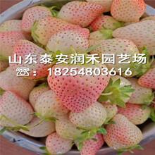 美王四季草莓苗树苗价格、美王四季草莓苗零售价格图片