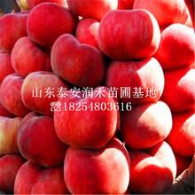 珍珠(zhu)棗油桃樹苗特(te)點(dian)、珍珠(zhu)棗油桃樹苗品種純(chun)正圖片