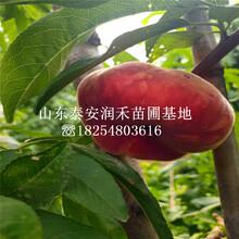 早金霞油蟠桃樹苗報價(jia)、早金霞油蟠桃樹苗繁育中心圖片