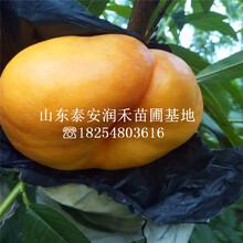 早熟油蟠36-3桃樹苗本月(yue)報價(jia)、早熟油蟠36-3桃樹苗產地(di)報價(jia)圖片