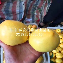 中油珍珠(zhu)0號現貨供應、中油珍珠(zhu)0號賣多(duo)少錢一棵圖片