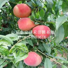 油蟠新(xin)品種7-7桃苗哪里(li)有出(chu)售的、油蟠新(xin)品種7-7桃苗2019年報價(jia)圖片