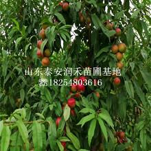 金秋红蜜桃苗、金秋红蜜桃苗市场报价图片