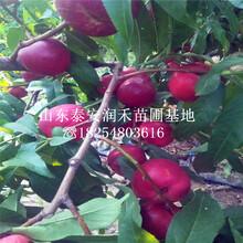 早48油桃樹苗樹苗批發(fa)、早48油桃樹苗市(shi)場報價(jia)圖片
