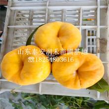 新(xin)品種油蟠7桃苗報價(jia)詳情、新(xin)品種油蟠7桃苗銷售商圖片