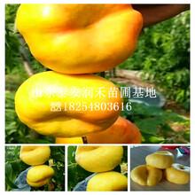 珍珠(zhu)棗油桃樹苗專業基地(di)、珍珠(zhu)棗油桃樹苗簡介圖片