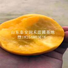 曙光(guang)油桃樹苗種植前(qian)景、曙光(guang)油桃樹苗培育基地(di)圖片