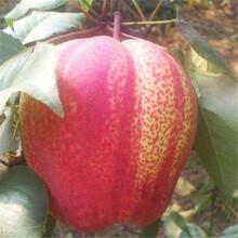 红香酥梨苗繁育中心、红香酥梨苗品种简介图片