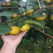 黄金梨苗哪里有出售的、黄金梨苗品种介绍图片