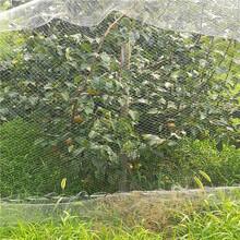 意大利黑梨苗树苗价格、意大利黑梨苗繁育基地图片