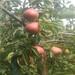 欢迎咨询:3公分早酥红梨树苗、3公分早酥红梨树苗今年报价
