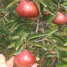 早酥红梨树苗种殖资料、早酥红梨树苗市场报价图片