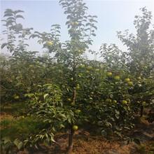 意大利黑梨苗卖多少钱一棵、意大利黑梨苗批发供应商图片