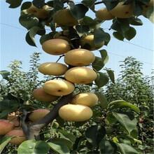 苏翠一号梨树苗种植前景、苏翠一号梨树苗特点图片
