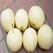 早酥红梨树苗卖多少钱一棵、早酥红梨树苗批发供应商图片