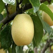 意大利黑梨苗树苗批发、意大利黑梨苗产地价格图片