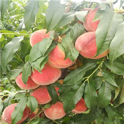新世紀2號黃桃苗價格及批發、新世紀2號黃桃苗單株價格