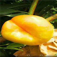 珍珠枣油桃苗2020年价格、珍珠枣油桃苗联和记娱乐注册电话图片